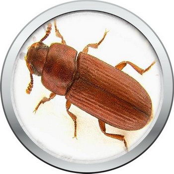 חיפושית הקמח